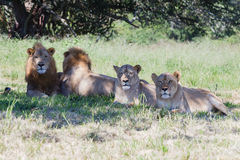 Lions Wildlife Royalty Free Stock Photography