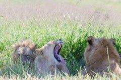 Lions Wildlife Stock Photo