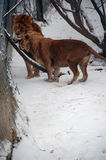 Lions in winter snow stock image