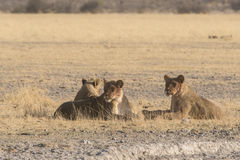 Lions (Panthera Leo) Royalty Free Stock Images