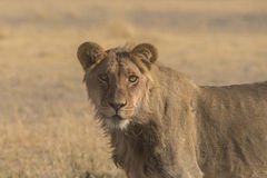 Lions (Panthera Leo) Royalty Free Stock Photography