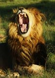 Lions Yawn Royalty Free Stock Image