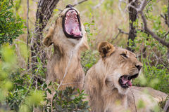 Lions yawning South Africa Royalty Free Stock Images
