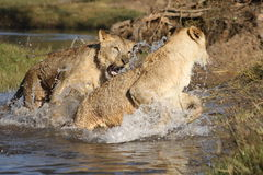 Lions in Zambia. Two lions playing together in a river in Zambia, South Africa Royalty Free Stock Photos