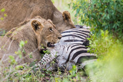 Lions on a zebra kill in South Africa Royalty Free Stock Photography