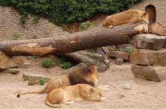 Lions in the zoo. Three lions resting in the zoo Royalty Free Stock Photography