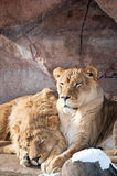 Lions in a Zoo Stock Images