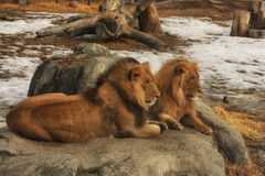 Lions at Zoo Sitting on a Rock. Two lions sitting on a rock at a zoo in winter with snow Stock Photography