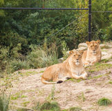 Lions in zoo Stock Photos