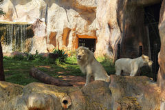 Lions in zoos and nature Stock Photos