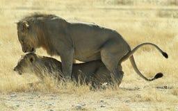 lionsihopparning Royaltyfri Bild