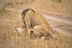 lionsihopparning Arkivbilder