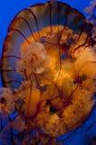 Lionsmanejellyfish royaltyfria bilder