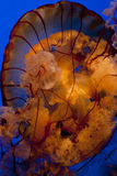 Lionsmanejellyfish. A lions mane jellyfish on a deep blue background royalty free stock images