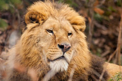 Lionstående Royaltyfri Fotografi