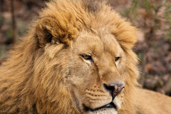 Lionstående Royaltyfri Bild