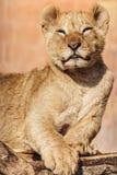 lionståendebarn zimbabwe Fotografering för Bildbyråer