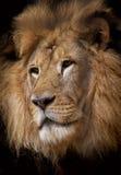 lionstående Arkivbild