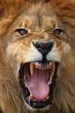 lionstående Arkivbilder