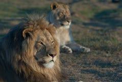 lionstolthet s Arkivfoto