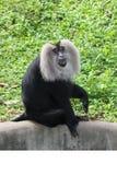 liontailed短尾猿 库存图片