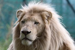 lionwhite Arkivfoto