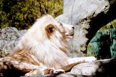 lionwhite Royaltyfri Foto