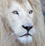 lionwhite Royaltyfri Bild