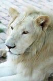lionwhite Royaltyfria Bilder