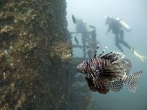 Lionwreck. Red Firefish (Pterois volitans), also known as Lionfish, Zebrafish and Butterfly-cod, with scuba diver in background Stock Photography