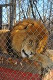 lionzoo Arkivbilder