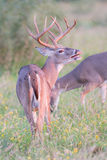 Lip curling by whitetail buck in vertical photograph Stock Image