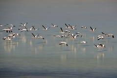lipez de lagunas de flamants de la Bolivie Photographie stock