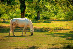 Lipica horse on pasture Royalty Free Stock Photography