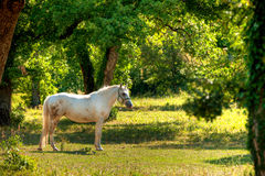 Lipica horse on pasture Stock Photography