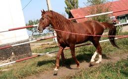 LIPITAN HORSE IN THE PEN Royalty Free Stock Photos