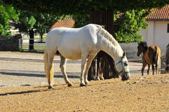 Lipizaner mare and foals at stud Royalty Free Stock Photo