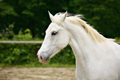 Lipizzan horse. One beautiful Lipizzan horse closeup Royalty Free Stock Photos