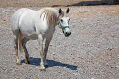 Lipizzan horse Royalty Free Stock Image