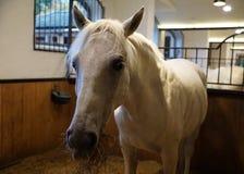 Lipizzan horse in Austria stock images
