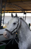 Lipizzan horse Royalty Free Stock Photo