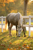 Lipizzan horse grazing Royalty Free Stock Photography