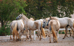 Lipizzan horse Royalty Free Stock Images