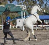 Lipizzan horse in public training Royalty Free Stock Image