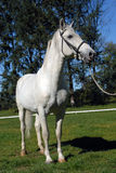 Lipizzan horses Stock Photography