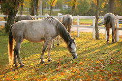 Lipizzan horses grazing Royalty Free Stock Photo