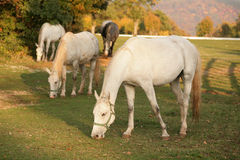 Lipizzan horses grazing Stock Images