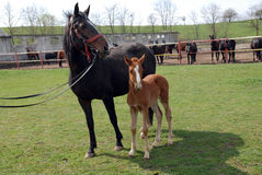 Lipizzan horses Stock Photos