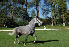 Lipizzan horses Royalty Free Stock Photography