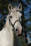 Lipizzan horses portrait Royalty Free Stock Image